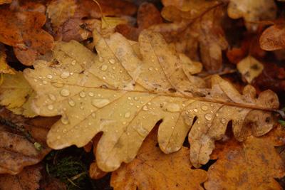 Oak Leaf(litter)