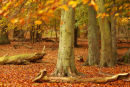 Autumn Beechwood