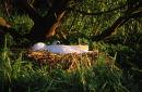 Mute Swan & Nest