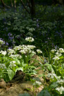 Ramsons & Bluebells