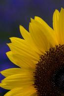 Sunflower Contrast.