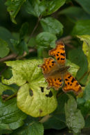 Comma in Hedgerow
