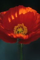 Brilliant Poppy