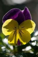 Viola Sunshine
