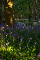 Late Evening Bluebells