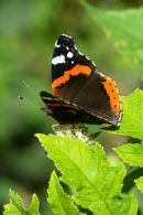 Woodland Glade Red Admiral