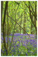 Bluebells at Gransden
