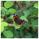 Red Admiral - A Portrait