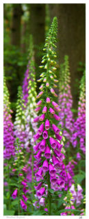 Woodland Foxgloves