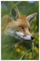 The Fox & the Yellow Gorse