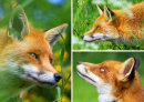 Fox Medley