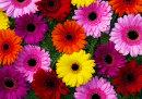 Bright & Cheerful - Gerbera Blooms