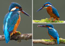 Kingfisher Medley