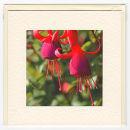 Fuschia Blooms