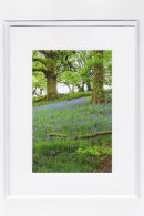 Welsh Bluebells