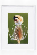 Goldfinch & Teasel
