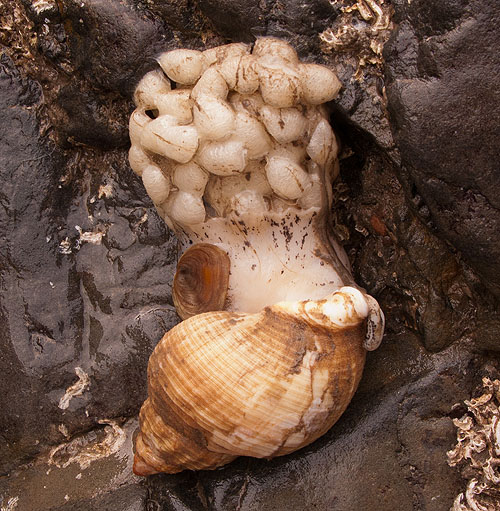 Common Whelk laying eggs