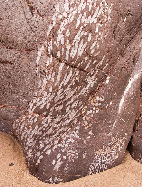 Fossil - Colonial Rugose Coral -