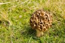 Common Morel Fungi