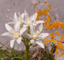 Spring Squill - White Form