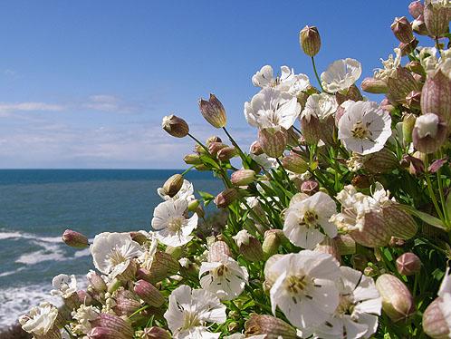 Sea Campion-