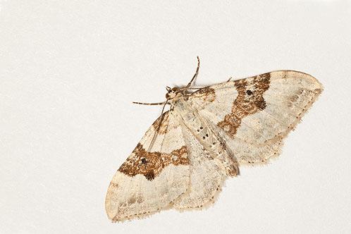 Silver Ground Carpet Moth