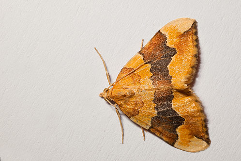 Barred Yellow Moth