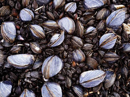 Common Blue Mussels