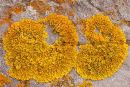 """""""Xanthoria Parietina"""" Lichen"""