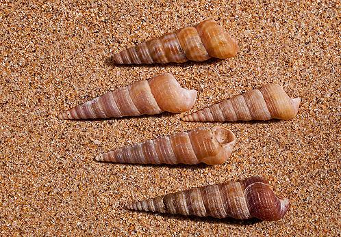 Auger Shells.