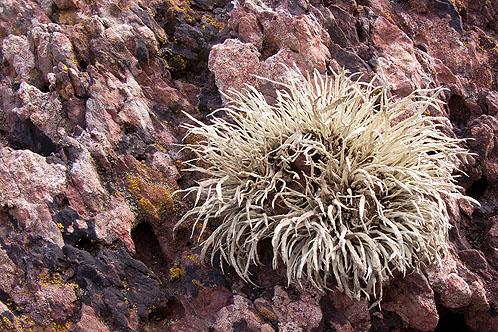 Sea Ivory Lichen