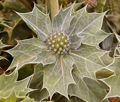 Flower - Sea Holly