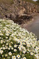 Sea Mayweed