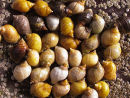 Dog Whelks