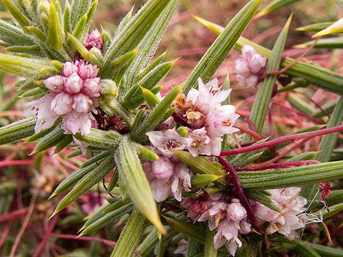 Dodder - Flowers