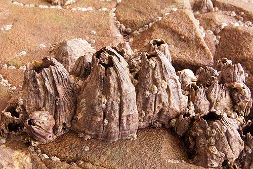 """Barnacles - """"Balanus Perforatus"""""""