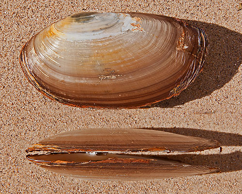 Common Otter Shell -