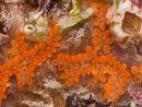 """Sea Squirt - """"Botrylloides Leachi"""""""