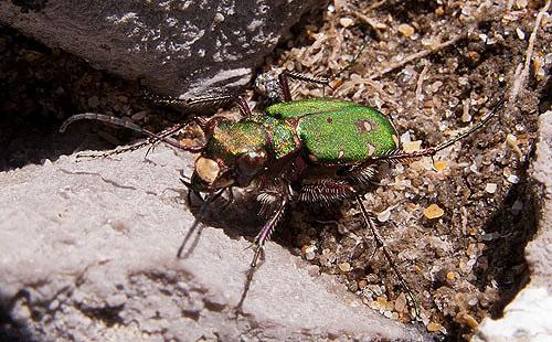 Green Tiger Beetle -