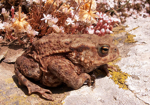 "Common Toad - ""Bufo Bufo""."