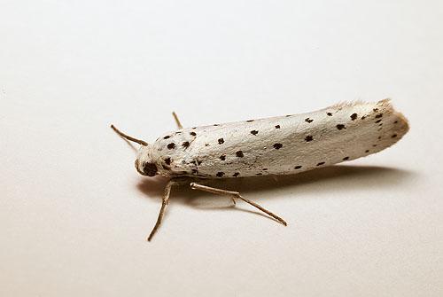 Small Ermine Moth