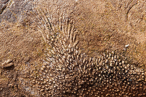 Fossil - Colonial Coral