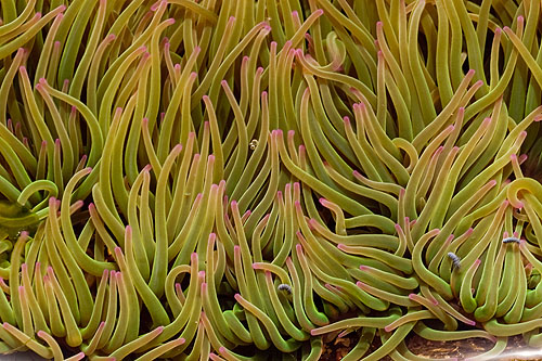 Green Snakelocks Anemone