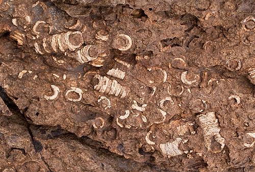 Crinoid - Fossils