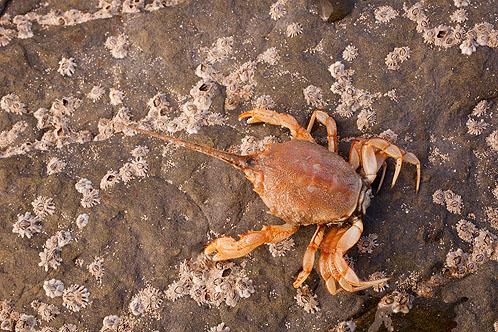 Masked Crab