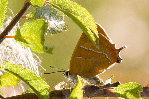 Brown Hairstreak Butterfly