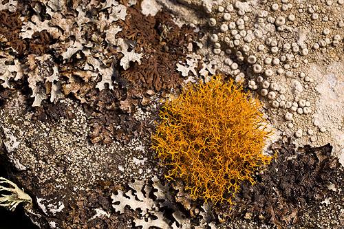 Golden-Haired Lichen -