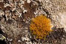 Golden-Haired Lichen -