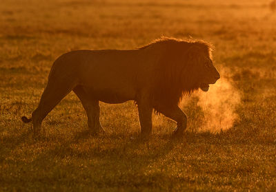 Male Lion Dawn Patrol