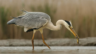 Fishing Heron